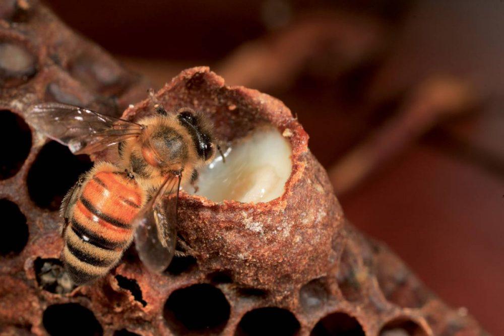 Sữa ong chúa có tác dụng cũng cố và tăng cường sức khỏe cho con người